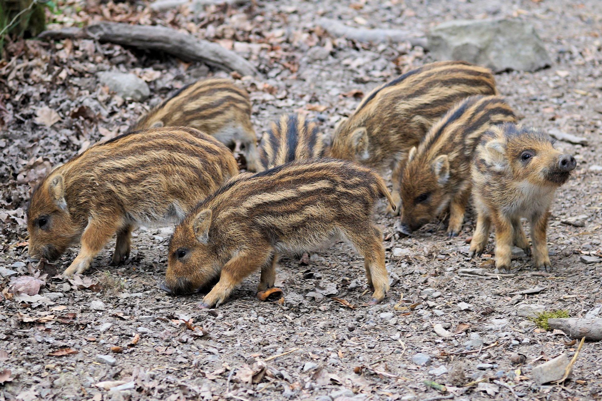 divlje svinje - praščići