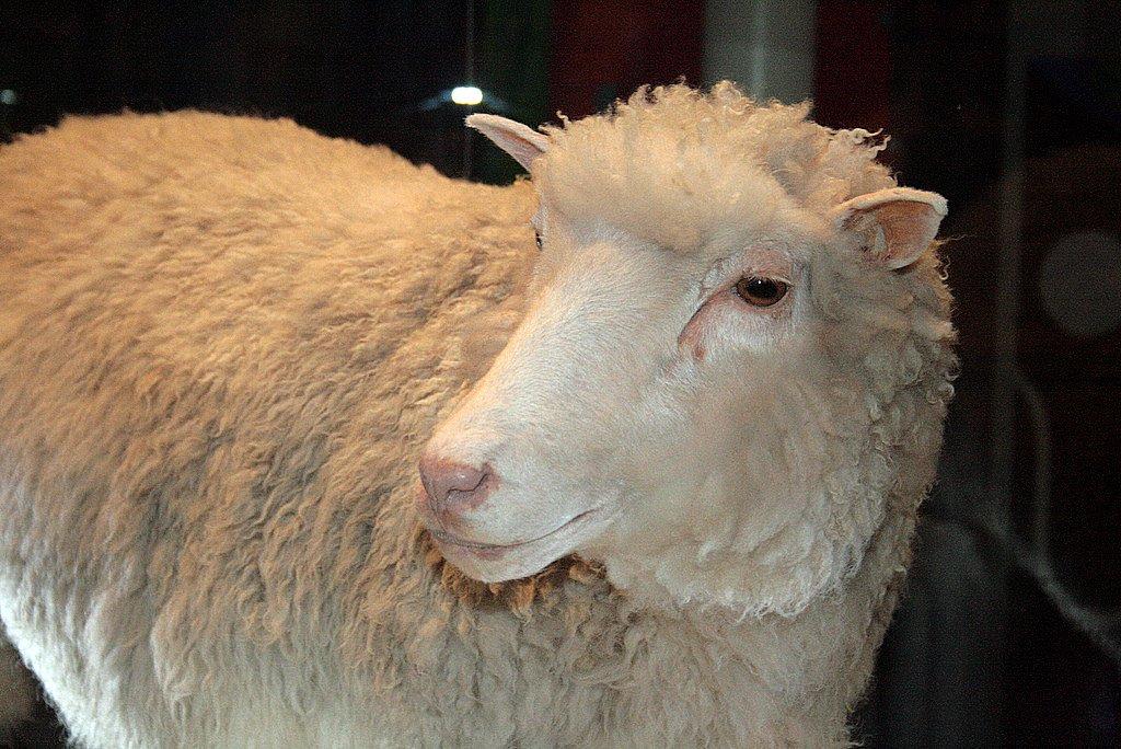 Ovca Dolly