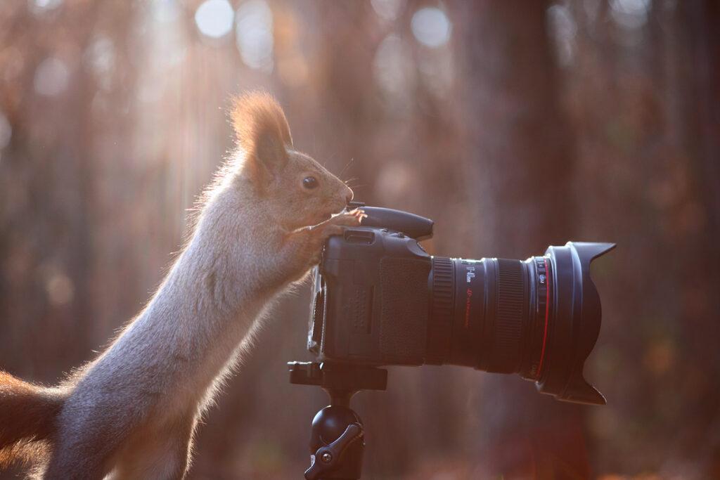 crvena vjeverica