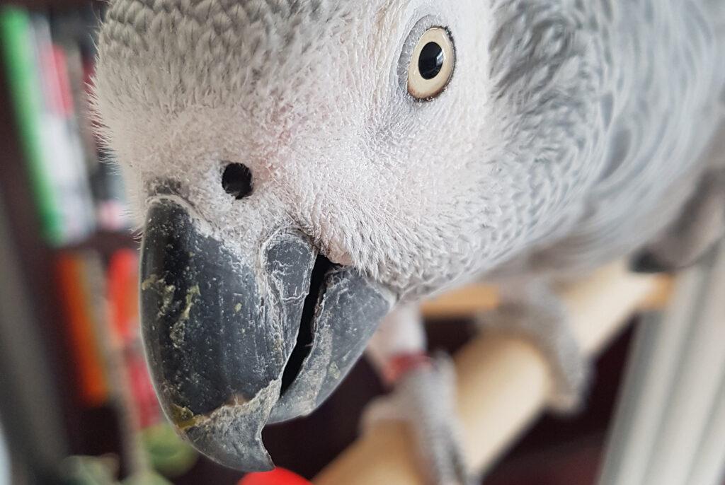 afrički sivi papagaj